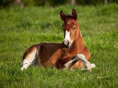 horse foal baby animals photo  fanpop