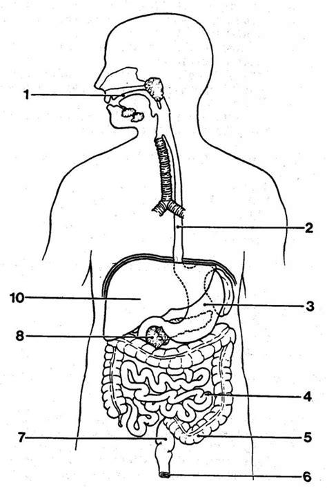 Simple Diagram Of Organ by Digestive System Diagram Unlabeled Blank Digestive System