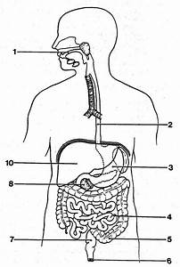 Digestive System Diagram Unlabeled Blank Digestive System