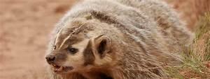 What to do when you encounter a badger in Eagle, Colorado