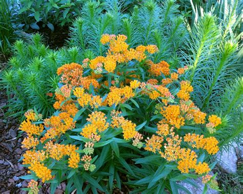elite cuisine kansas city plant of the week butterfly milkweed the kansas city