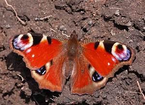 Bedeutung Schmetterling In Der Wohnung : berwinternder schmetterling in der wohnung schmetterlingsforum blog und austauschplatform ~ Watch28wear.com Haus und Dekorationen