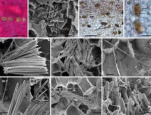 Crystals Of Calcium Oxalate In Amorphophallus Titanum Inflorescence  A