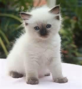 Ragdoll Kitten Cute Cats