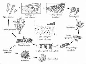 Image Result For Seaweed Harvest Diagram  With Images