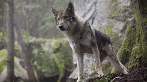 Alpha Wolf Wolf Wallpaper by Alpha 2018 4k 8k Hd Wallpaper