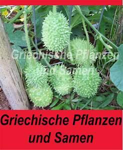 Mini Gurken Pflanzen : maxixe mini gurke aus brasilien rarit t ~ Buech-reservation.com Haus und Dekorationen