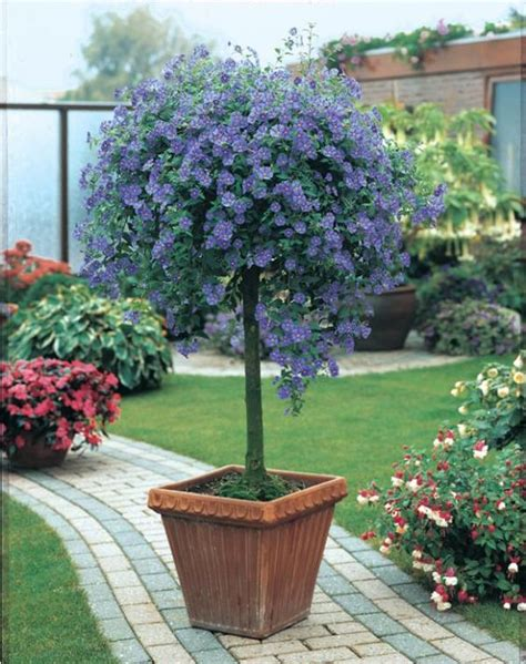 arbuste en pot plein soleil arbre aux gentianes solanum rantonnetii feuillage semi persistant culture tr 232 s facile au