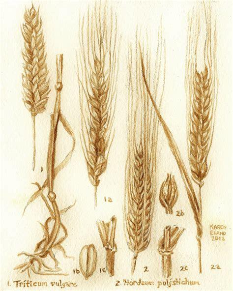de bi 232 re l orge et le bl 233 dessin botanique peints 224