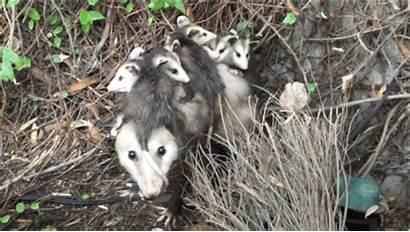Opossum Woman Closet Possum Finds Goose Babies