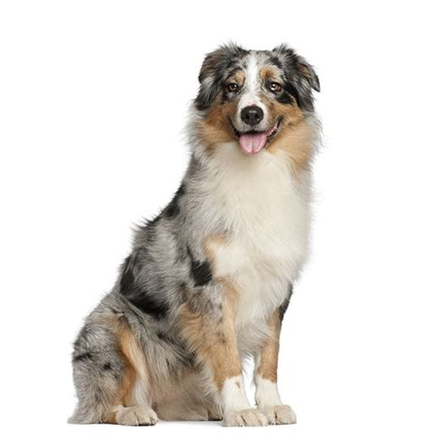 australian shepherd breed characteristics puppyspot
