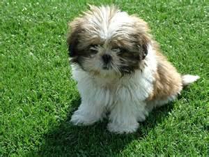 shih tzu dog breed 187 information pictures more