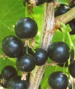 Schwarze Johannisbeere Pflanzen : schwarze johannisbeere ribes nigrum titania 39 pflanzen ~ Lizthompson.info Haus und Dekorationen