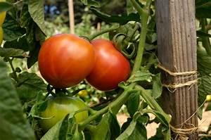 Zimmerpflanzen Alte Sorten : tomatenpflanzen alte sorten ~ Michelbontemps.com Haus und Dekorationen