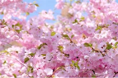 Sakura Iphone Wallpapers Backgrounds