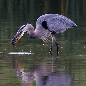 Great Blue Heron (Eating A Snapping Turtle) | Project Noah