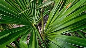 Trachycarpus Fortunei Auspflanzen : flecken bei trachycarpus fortunei seite 1 frostsch den krankheiten sch dlinge ~ Eleganceandgraceweddings.com Haus und Dekorationen