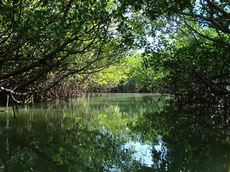 mangrove forests  seagrasses   indian river lagoon