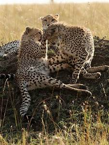 baby cheetahs at play | Animals | Pinterest | Plays ...