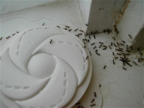 Black Ant Infestation In Kitchen by What About Those Little Black Ants Slug A Bug Pest Control