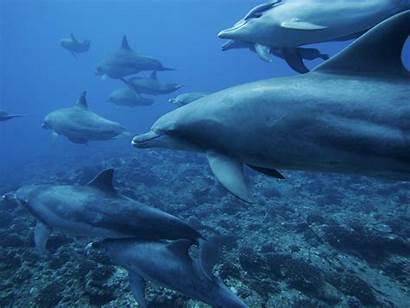 Ocean Dolphins Underwater Sea Monochrome Dolphin Animals