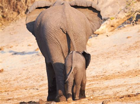 baby elephant background   pixelstalknet