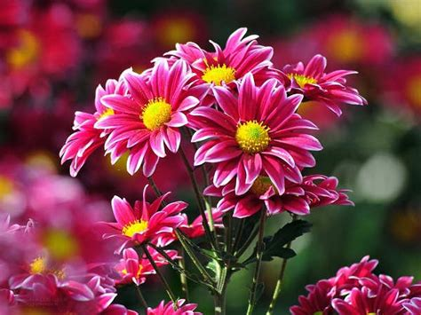 merawat bunga krisan baik tanaman hias