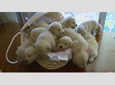 Golden Retriever Puppies Cute