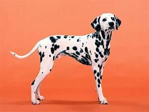 Dalmatian Puppies Wallpaper image | Free HD Wallpaper