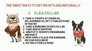 Fleas Natural Remedy