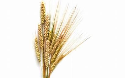 Wheat Clipart Barley Grain Head Border Cliparts
