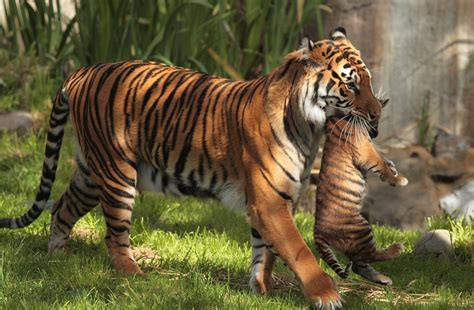 tiger carrying cubs hd animals  wallpapers images