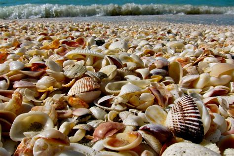 sanibel island beach shells shell florida myers beaches fort shelling fl attractions bowman southwest sea thousands museum history things exotic