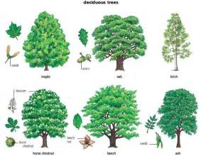1000 ideas about tree identification on plant identification tree leaves and fir tree