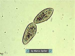 Paramecium - binary fission - YouTube