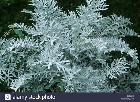 Centaurea Cineraria Knapweed Silver Grey Foliage Leaf