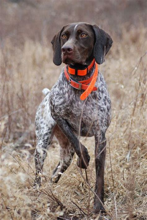 german shorthaired pointer one of the best dog breeds