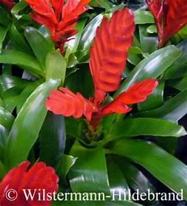 Flammendes Schwert Pflanze : terrarienpflanzen ~ Frokenaadalensverden.com Haus und Dekorationen