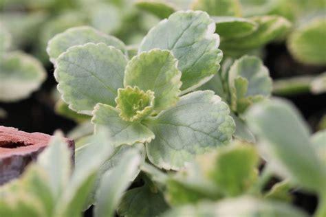 anti katzen pflanze verpiss dich pflanze plectranthus caninus pflege der anti katzen staude pflanzenexperte de