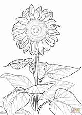 Coloring Sunflower Pages Printable Drawing sketch template