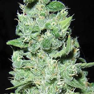 Seeds Bulk   Bulk seeds, AK49, cannabis seeds, marihuana seeds, growing, autoflowering