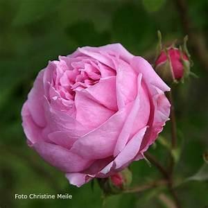 Alte Rosensorten Stark Duftend : 39 bacchante 39 r gallica gallicarosen alte rosen ~ Michelbontemps.com Haus und Dekorationen