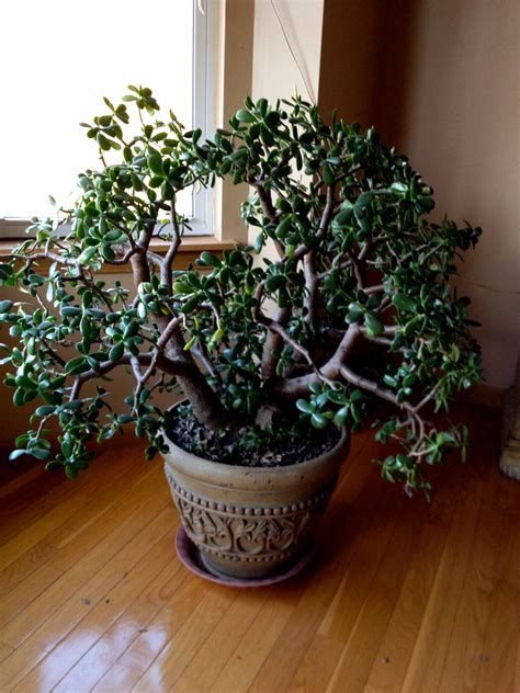 jade plant fast feng shui with succulents for prosperity the tao of dana