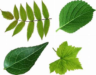 Leaf Leaves Clipart Background Google Tree Leave