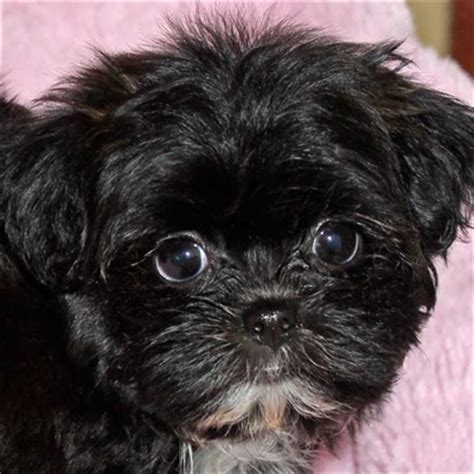shih poo puppy  sale  boca raton south florida