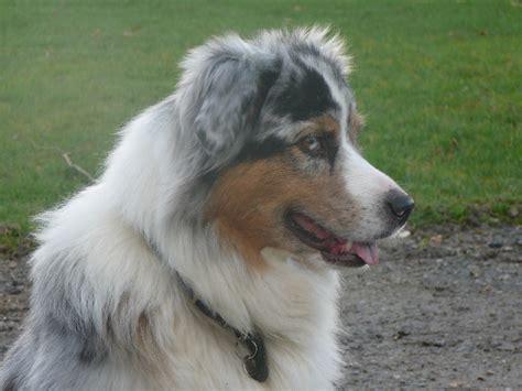 protection canapé chien appy birthday de l 39 igloo des sables chien de race toutes