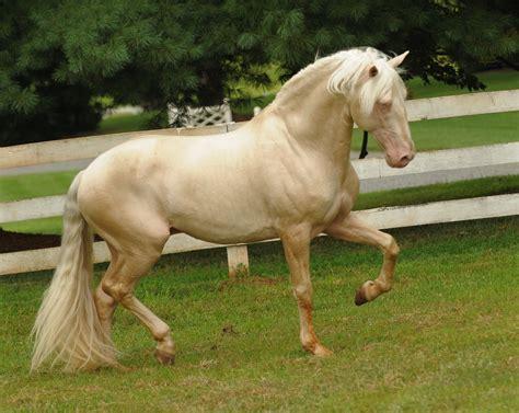 horse andalusian palomino cremello horses stallion lusitano perlino saphiro andalusians friesian gorgeous pretty bob animals lusitanos foals artefacts japanese majestic