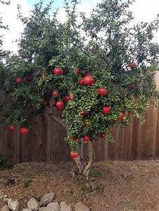 Our small pomegranate tree is loaded with big fruit this ...