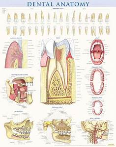 Therapy Anatomy Charts Dental Anatomy Poster Clinical Charts And Supplies