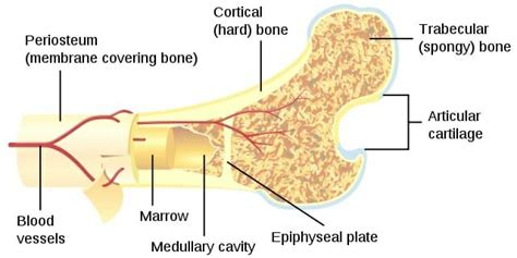 Difference Between Spongy Bone And Compact Bone Biology